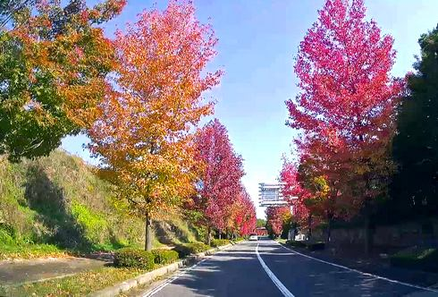 色付き始めた、広島空港 周辺の紅葉風景