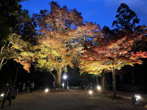 宮島 紅葉谷公園 もみじのライトアップ 画像7