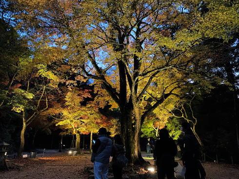 宮島 紅葉谷公園 もみじのライトアップ 画像4