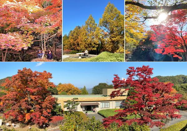 広島県緑化センターの紅葉で艶やかに色づく園内、県下最大級オオモミジも