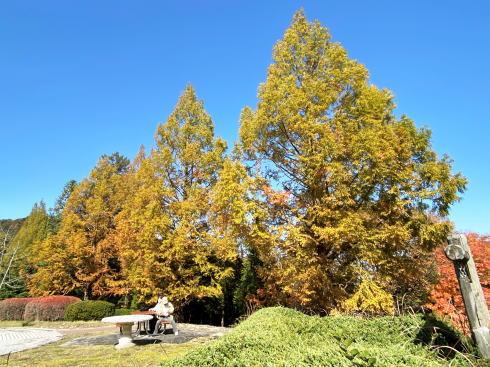 広島県緑化センターの紅葉 メタセコイア