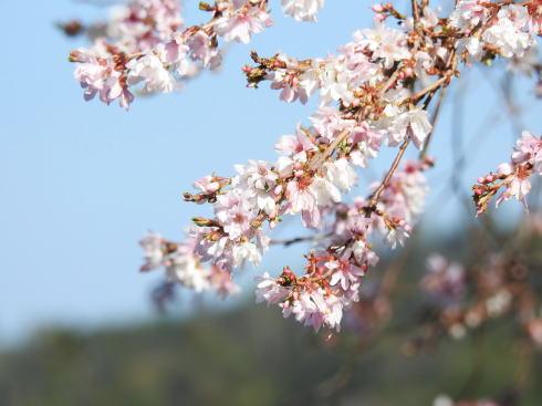 広島県緑化センター 十月桜