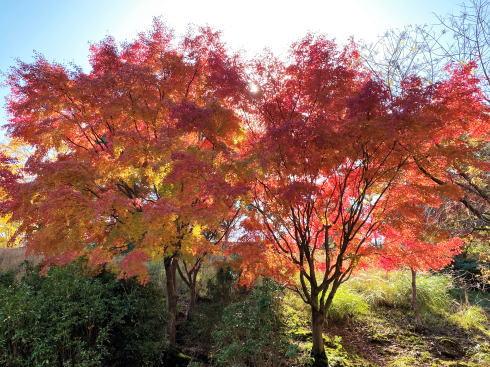 広島県緑化センターの紅葉 画像6