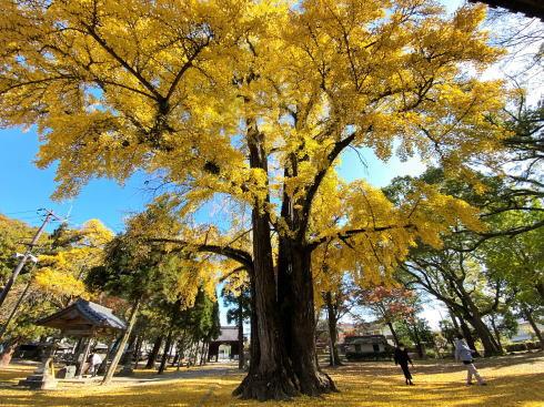 福山市 素盞嗚神社のイチョウ、歴史と秋を感じさせる見事な大樹