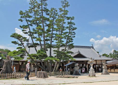 宮島の天然記念物「大願寺の九本松」が、松くい虫被害で4本伐採へ