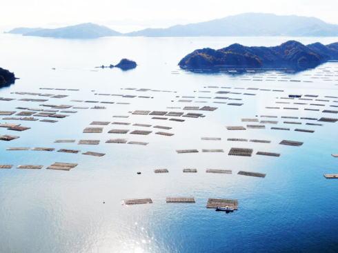 呉沖の牡蠣筏の様子