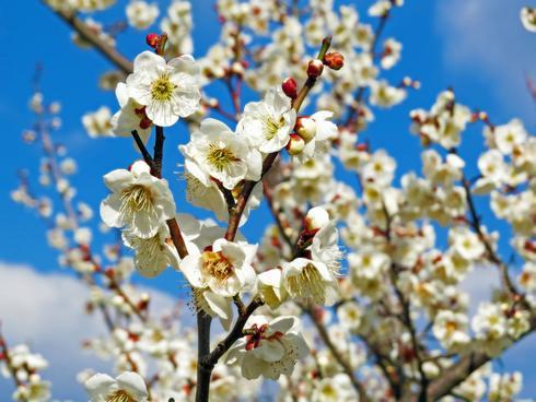 満汐梅林 花見まつり、2haの広々園内でゆったりお花見散歩