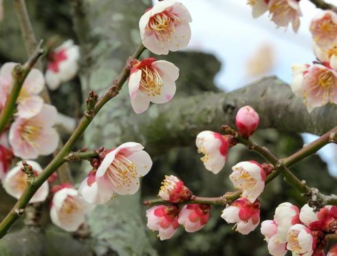 満汐梅林の梅 開花時の様子2