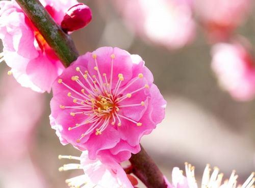満汐梅林の梅 開花時の様子