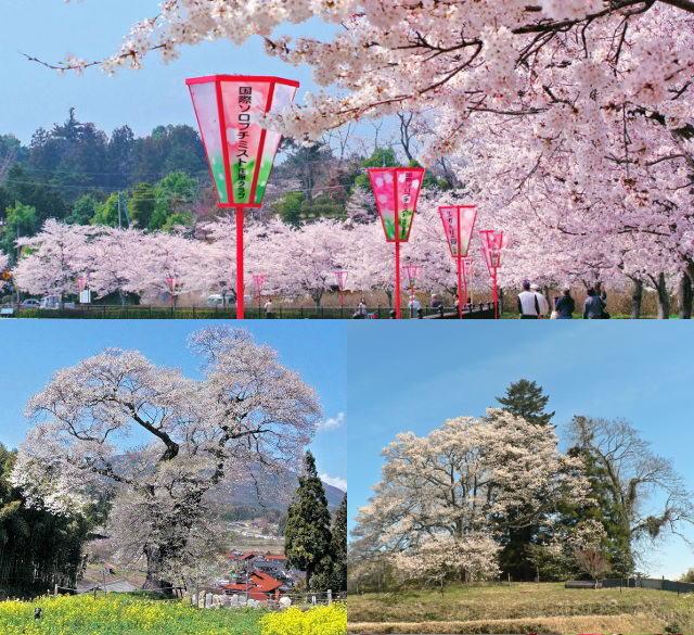 そのとき最高に見頃の県北桜スポットへ!「庄原桜ミステリーツアー」