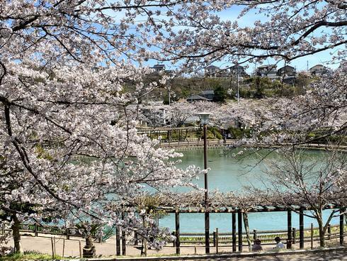 広島県・府中公園の桜が満開で見頃へ