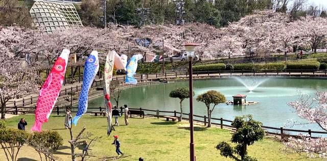 府中公園の桜、満開で見頃へ!池を包むようにサクラ咲く癒しの公園