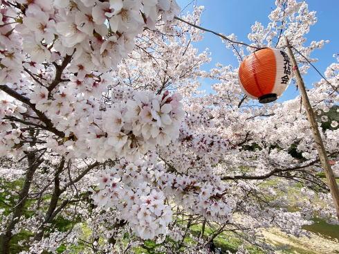 三原・白竜湖 桜の風景 写真1