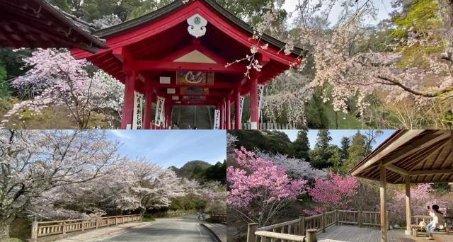 御調八幡宮を彩る春のしだれ桜、三原・やはた川自然公園で