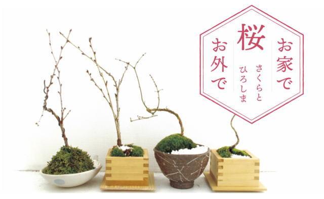 桜の新たな楽しみ方、かわいい桜盆栽づくりなど広島で体験イベント