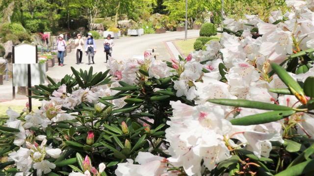 花木の女王シャクナゲ5500本、広島 花みどり公園でまつり開催
