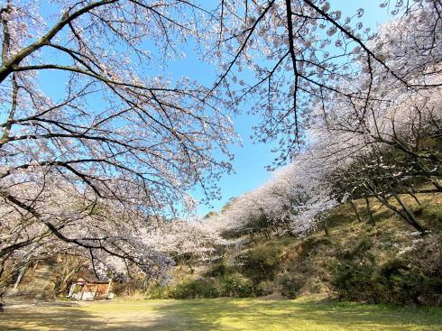福山に桜の穴場スポット、建部神社の桜が華やかに