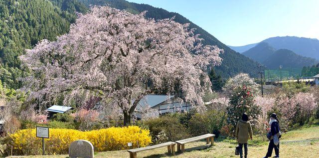 湯の山温泉 しだれ桜が見頃へ!夜桜ライトアップと昼間の風景