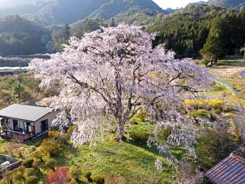 湯の山温泉のしだれ桜(竹下桜)広島市・湯来町