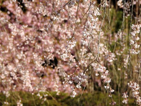 湯の山温泉のしだれ桜(竹下桜)が見頃