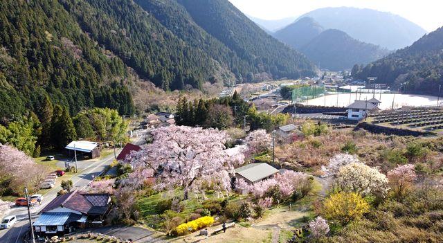 広島市・湯来町の、湯の山温泉 枝垂桜
