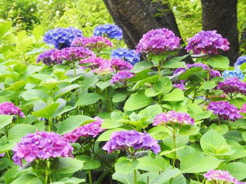 三景園 アジサイ写真