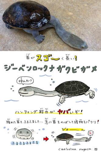 広島パルコ スゴヤバ展 ジーベンロックナガクビガメ