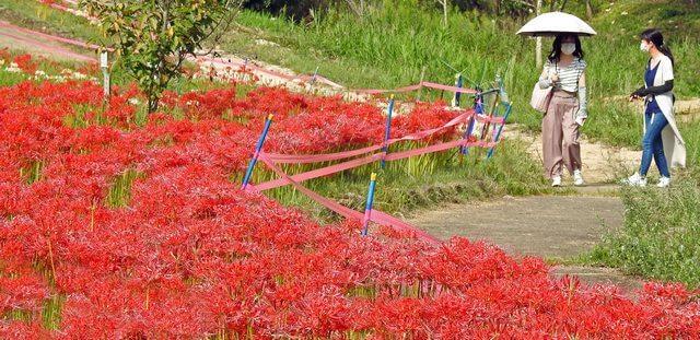 広島県最大級!堂々公園の彼岸花、砂留群周辺が華やぐ福山市神辺・秋の風景