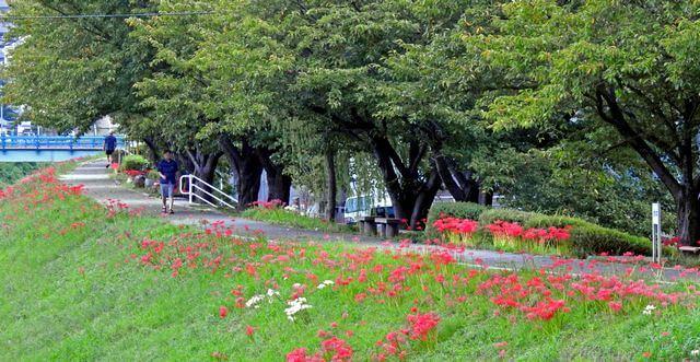 新庄公園(広島市西区)そば、川沿いに彼岸花の群生地