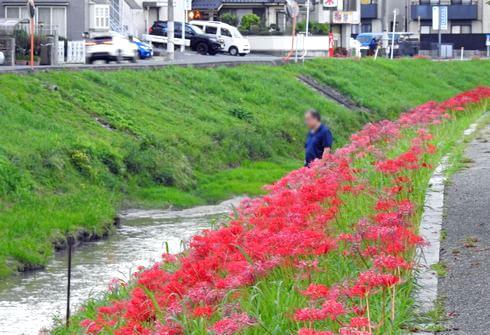彼岸花の群生地、広島市西区・新庄町の川沿いに