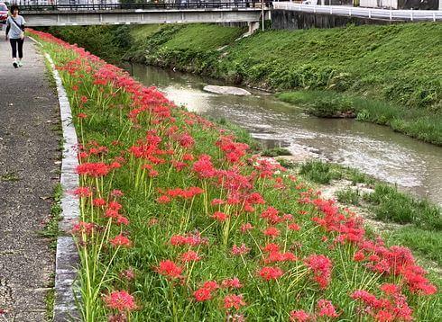 彼岸花の群生地、広島市西区・新庄公園そばに