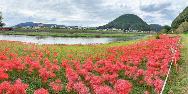艶やか!彼岸花で染まる、三次市・寺戸地区の河川敷