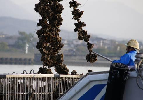 広島で牡蠣の水揚げが解禁!シーズン突入へ