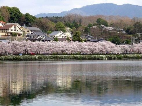 庄原 上野公園の桜 画像